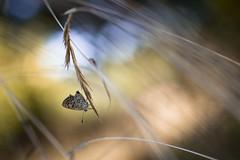 Entre chien et loup (Mathieu Calvet) Tags: pentax pentaxart justpentax pentaxkpark bokeh macro proxy papillon occitanie butterfly nature wild blured