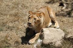 Lionne d'Afrique_KANANGA (Passion Animaux & Photos) Tags: lion afrique african panthera leo safari peaugres france