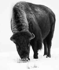 Grazing Bison (Markp33) Tags: