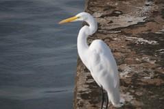 St Augustine 13 (RNRobert) Tags: bird florida staugustine stjohnscounty waterfowl