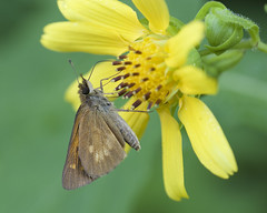 Broad-wing Skipper 3 (brian.magnier) Tags: new jersey nature wildlife animals outdoors