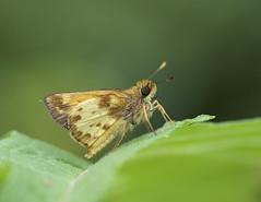 Zabulon Skipper 3 (brian.magnier) Tags: new jersey nature wildlife animals outdoors