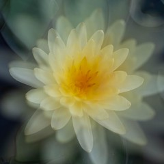 ❀ (cнαт-ɴoιr^^) Tags: 20180801imgp1008 flora flower blüte fiori fleur blume cvijet bloem цветок kwiat flor blomst květina virág seerose waterlily nénuphar ninfea nymphaea