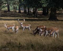 Deer at Tatton Park (norm.edwards) Tags: deer tattonpark tatton lovely park green animals looking wild enjoy nature