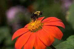 Done here! Taking-off. (gdajewski) Tags: d750 dajewski hudson ny nikond750 olanahistoricsite tokina100mmf28atxm100afprodmacro closeup flowers gdajewski macro bee bumblebee insect
