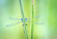 Peek a boo (Janette Paltian) Tags: janettepaltian canon 650d macro makro closeup libelle dragonfly nature natur green grün summer sommer garden insekt insect hide gras dof depthoffield tiefenschärfe schärfentiefe color colour cute gemeinebinsenjungfer lestessponsa damselfly