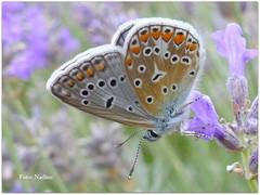 Sweet little wild thing… (Nadine V.) Tags: icarusblauwtje polyommatusicarus vrouwtje bruinblauwtje lycaenidae commonblue brownargus panasonic panasonicdmcfz200 fz200 dmcfz200 lumix insect inourgarden macro