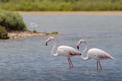Flamingi w Santa Pola Spain (Kuba Petrymusz) Tags: cygnus ptactwo woda jezior charakter biała zwierzak dzikanatura flaming sadzawka rzeka piękne roz beuty blękit pływanie pierze dzika para elegancja flamingo costablanca spain hiszpania santapola obraz obrazek widok natura róż różowe dziób zwierzątko okazałe ptak małżeństwo długienogi