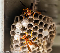 DSC_4740 (mylesfox) Tags: wasp nest eggs