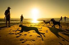 Hunderennen am Strand (sueley) Tags: freizeit spas spass tiere meer sand ferien sonnenuntergang urlaub strand hunde holland niederlande cadzand