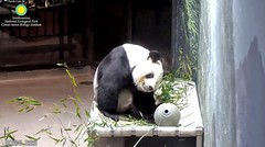 2018_08-12b (gkoo19681) Tags: tiantian dabigguy sohandsome proudpapa adorableears fuzzywuzzy hammock feetsies comfy babysteps scratching itchy justbecausehecan toocute toofunny contentment cooldude beingadorable precious amazing darling meltinghearts ccncby nationalzoo