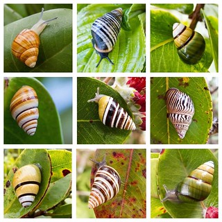 Oahu tree snails. Photo credit: David Sischo