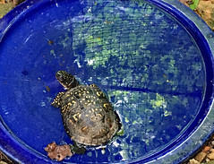 A Turtle for Jamie (BKHagar *Kim*) Tags: bkhagar turtle tortoise water pool swim drink rescue rescued onjamiesbirthday found magnum gift sign fromjamiewithlove forjamie reflection reflections fence safety net