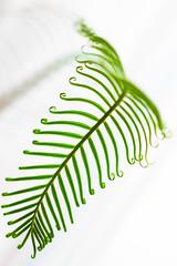 green (iwona.kilichowska) Tags: plant plants green bright leaf closeup dof flora delicate