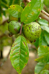 Guava (Psidium guajava): Algal leaf and fruit spot (Plant pests and diseases) Tags: cephaleuros parasiticus green alga algae guava psidium gujava leaf fruit spots