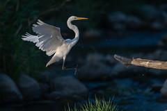 TheHop (jmishefske) Tags: 2018 d850 nikon flight burlington echolake wisconsin flying bird great fly august bif egret