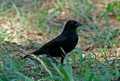 Bronzed Cowbird (1krispy1) Tags: blackbirds cowbirds bronzedcowbird texasbirds