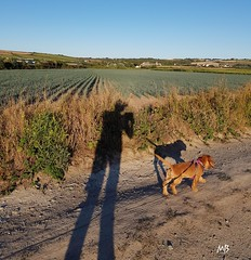 2018-08-03_08-21-50 (mich53 - thank you for your comments and 5M view) Tags: ombres samsunggalaxynote8 normandie cotentin lerozel chemin dog bassetfauvedebretagne lespieux