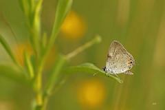 Bleu porte-queue de l'Est / Eastern Tailed Blue (alainmaire71) Tags: insecte insect lepidoptera lépidoptère papillon butterfly lycaenidae cupidocomyntas bleuportequeuedelest easterntailedblue nature quebec canada