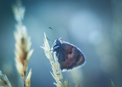Hello again! (ursulamller900) Tags: helios442 extensiontube 12mm makroring butterfly schmetterling insekt blue