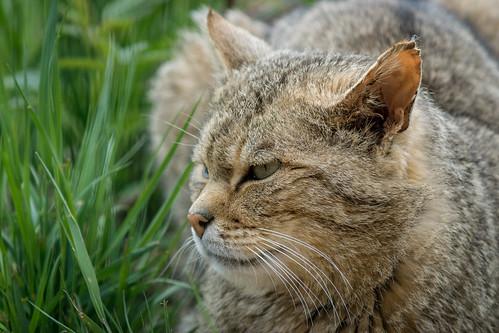 Wild Cat V