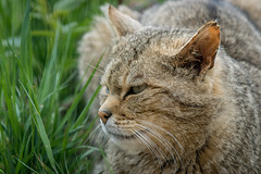 Wild Cat V (photobeyDE) Tags: animals tiere cats katzen catcontent jwshutterbugs jwphotography sonyimages sonimages sony alphaddicted slt a77mk2 a77ii minoltalens 70210f4 wildkatzengehege oberharz catportrait kommindenharz ausflugsziel poi pointofinterest harz harzkind exploreharz outdoor natur nature badharzburg visitbadharzburg