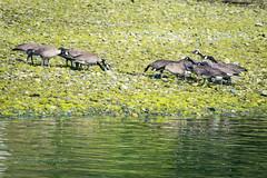 The Hatfields and McCoys (ausmc_1) Tags: 2018 birds july canada waterfront britishcolumbia vancouverisland nikkor2oo500f56vr portalberni d800 canadageesebrantacanadensis somassriver water outdoor wildlife