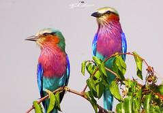 CASAL_ROLIEIROS_DE_PEITO_LILÁS_LIWONDE_RESERVE_PARK_MALAWI (Coracias caudata) (paulomarquesfotografia) Tags: southernregion malawi mw rolieiro de peito lilás liwonde reserve park paulo marques sony hx400v passaro bird cores colors wild selvagem coracias caudata céu sky arvore tree ramo 1200mm f63
