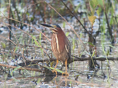 20180703 Green Heron (plumheadedfinch) Tags: birds pelecaniformes ardeidae butorides butoridesvirescens greenheron pennsylvania month07july 2018