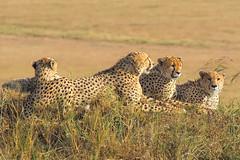 Male Cheetahs, Maasai Mara (Ray in Manila) Tags: kenya cheetah africa animal cat feline predator safari tropical mammal wild wildlife maasaimara savanna acinonyxjubatus speed fast felinea eos650d efs55250mm