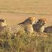 Male Cheetahs, Maasai Mara