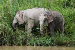 Pair of Pygmy Elephants (iamfisheye) Tags: olympus elephant borneoapril2018 camera borneanpygmyelephant kinabatanganriver kit mkii em1 animal