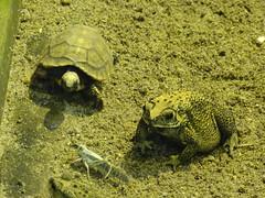 Tortoise and Toad contemplate a cricket (Nemoleon) Tags: aalborgzoo june 2018 duttaphrynusmelanostictus asiancommontoad dsc01135 yellowfootedtortoise chelonoidisdenticulatus