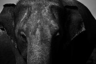 Elephant of Sri Lanka