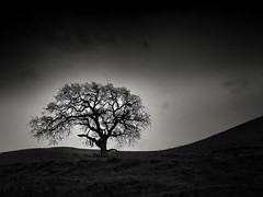 Oak on a Sweeping Hill (StefanB) Tags: 1235mm 2018 california em5 geotag mood outdoor sanjose tree treescape usa