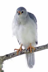 Grey Goshawk (Alan Gutsell) Tags: birds grey goshawk greygoshawk queenslandbirds queensland australian australia lamingtonnationalpark national park tree canon gold