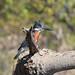 Megaceryle maxima (Giant Kingfisher)