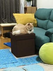 A One Centimeter Height Advantage (sjrankin) Tags: 12august2018 edited animal cat norio footrest couch livingroom mat kitahiroshima hokkaido japan
