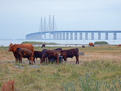 Klagshamn - Sweden (N3374) (Le Photiste) Tags: clay klagshamnsweden øresundbridgemalmösweden sweden cows water waterscape landscape bridge cloudy ngc nature planetearthnature planetearth meadow vacances vacations ferien holidays happyholidays summerholidayseason nikon nikoncoolpixs9900 afeastformyeyes aphotographersview autofocus artisticimpressions blinkagain beautifulcapture bestpeople'schoice creativeimpuls cazadoresdeimágenes digifotopro damncoolphotographers digitalcreations django'smaster friendsforever finegold fairplay greatphotographers groupecharlie peacetookovermyheart clapclap hairygitselite ineffable infinitexposure iqimagequality interesting inmyeyes livingwithmultiplesclerosisms lovelyflickr myfriendspictures mastersofcreativephotography niceasitgets photographers prophoto photographicworld photomix soe simplysuperb saariysqualitypictures showcaseimages simplythebest simplybecause thebestshot theredgroup transportofallkinds vividstriking thelooklevel1red wow worldofdetails yourbestoftoday perfectview beautiful fog