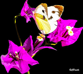 Bounganvillea con papillon