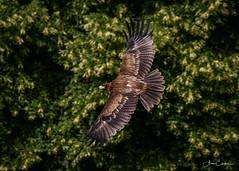 Indian Tawny Eagle (Ukfalc) Tags: indiantawnyeagle eagle bird birdofprey animal aquilarapax icbp internationalcentreforbirdsofprey newent gloucestershire flight canon 7dii 70300l 2018