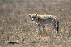 Dog Days of Summer (lennycarl08) Tags: coyote pointreyesnationalseashore pointreyes animalplanet animals wildlife northerncalifornia