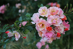IMG_3110 (Joan van der Wereld) Tags: flowers floral nature roses pink red branch leaves green buds rosebuds blossoms