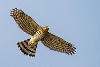 Cooper's Hawk flyby