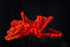 Poppy (anderswetterstam) Tags: flowers nature flora floral botanical garden seasons summer summertime changes poppy red closeup