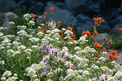 Wildflowers 1 (jimculp@live.com / ProRallyPix) Tags: mountrainiernationalpark washington nps mountain