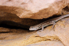 Edit of Lizard (dushDJ) Tags: lizard wildlife desert reptile sandstone