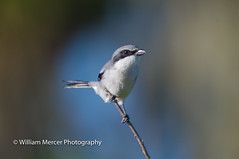 Hunter on a perch. (WilliamMercerPhotography) Tags: loggerheadshrikelaniusludovicianus hunter raptor predator wildlife wild nature nikon florida shrike