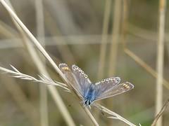 Common Blue-Albert village lake P1970612 (ianpreston) Tags: 2018 albertvillagelake commonblue derbyshire