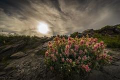_DSC1635-1 (Hong Yu Wang) Tags: sony a73 a7iii a7m3 1224g 合歡山 落日 夕陽 sunset taiwan mthehuan 花 flower